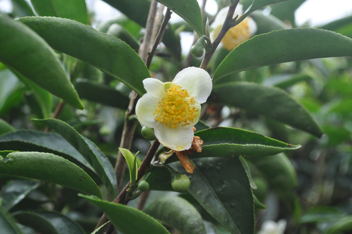 flower from tea plant