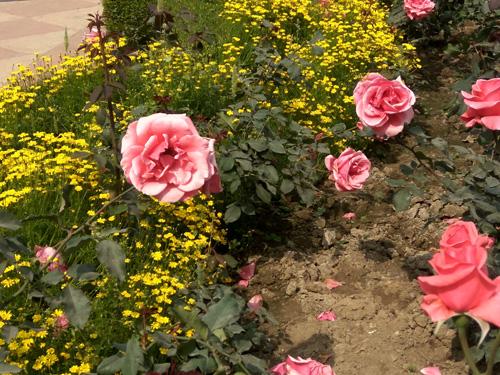 Roses at Mughal Garden Delhi